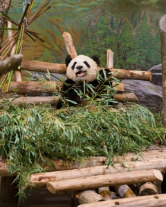 TORONTO ZOO - Toronto Zoo Hosts VIP Event to Preview Giant Panda