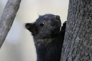 BLACKSQUIRREL1