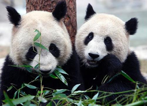 how to get vip pass for toronto zoo panda