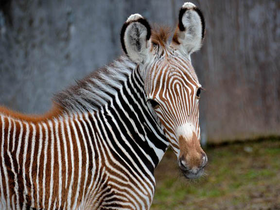 Zebra Male Luke 2 - Photo Credit Toronto Zoo.jpg