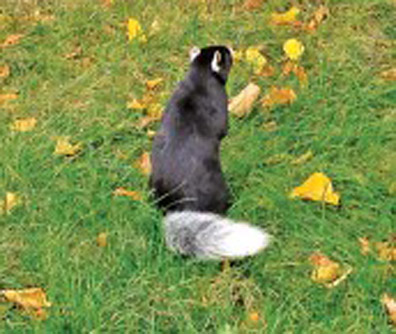 TUXEDOSQUIRREL2