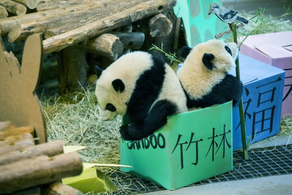 pandacubs1