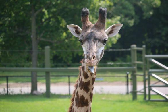 giraffe-kiko1