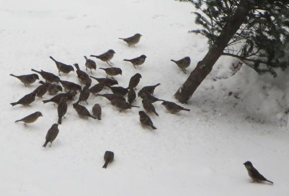 sparrows2